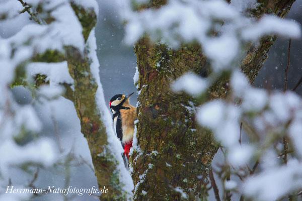 Buntspecht im Winter - Vogelsberg