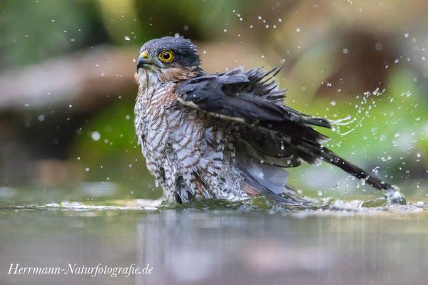 Sperberweibchen nimmt ein kühles Bad