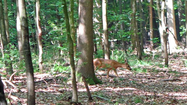 Reh im Wickrather Wald