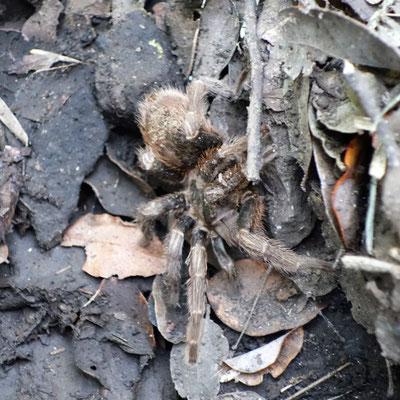 Voici Mimisiku la tarantula !!