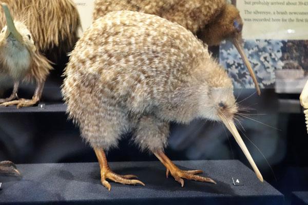 Te Papa Museum - Kiwi bird