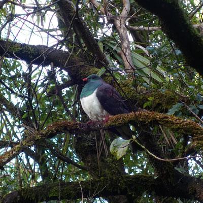 Wood Pigeon - ça va le bidon :-)