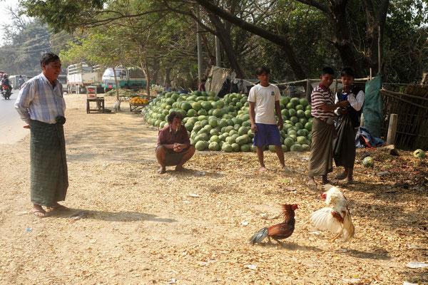Combat de coqs au bord de la route !