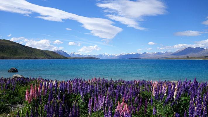 Le Lac Tekapo, tout aussi incroyable...