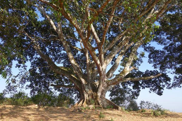 Un banian - arbre de Bouddha