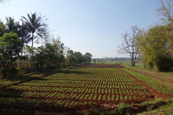 Plantations au bord du lac