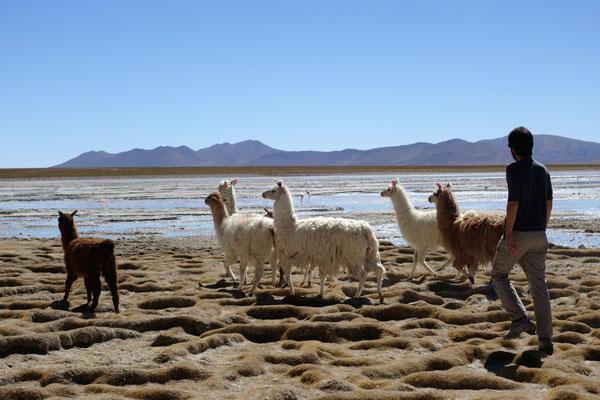 Région Sud Lipez - Etienne et les lamas...!
