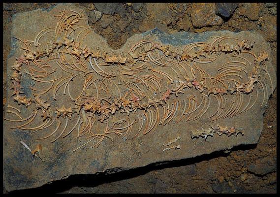 Grotta Veri: scheletro di serpente - sala inferiore: in basso sono visibili le due mandibole inferiori