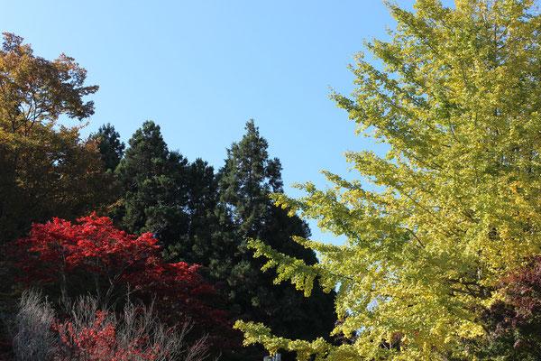 Anfang November fangen die Blätter sich zu verfärben an.