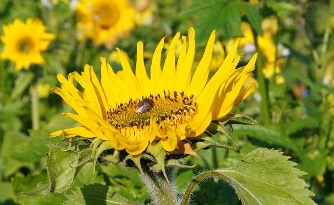 Blüte mit Wanze