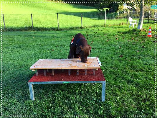 Spürhund Keno im Training: Geruchsdifferenzierung und punktgenaue Anzeige