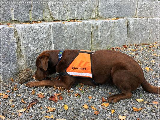 Spürhund Keno: Passiv-Anzeige des Igels
