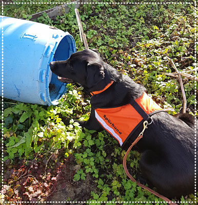 Yuma im Training: Anzeige eines versteckten Igels