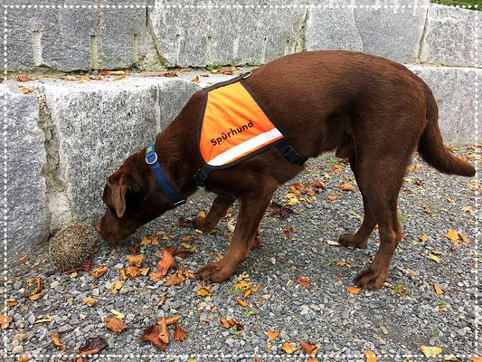 Spürhund Keno: kurz vor der Anzeige des Igels