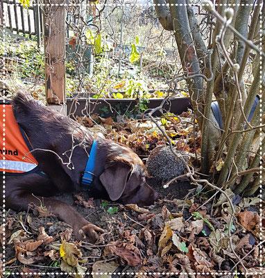 Spürhund Keno: Anzeige eines Igels