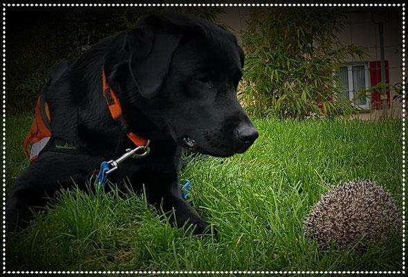 Spürhund Yuma: Anzeige eines Igels