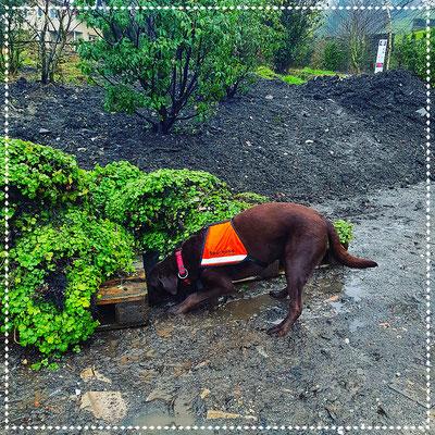 Spürhund Keno im Training: kurz vor der Anzeige, ca 10 Igelstacheln unter der Pallette