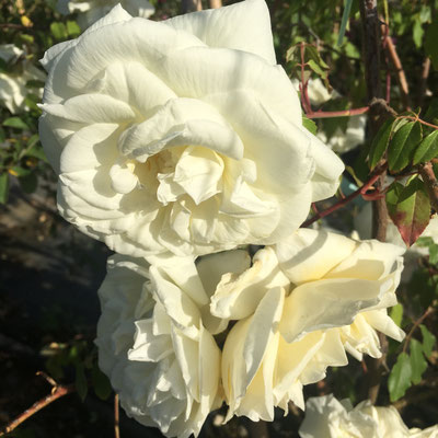 Lady Di's Wedding Dress Rose