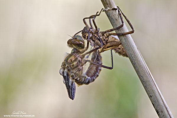 Ein sehr dynamischer Prozess: Der Aufschwung. Die Libelle klammert sich mit den Vorderbeinen an der Exuvie fest und der Hinterleib wird daraus befreit.