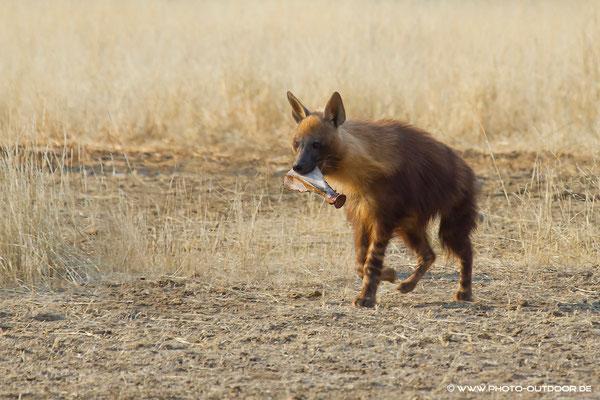 Braune Hyäne mit Snack für zwischendurch