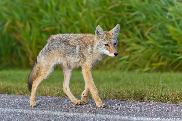 Manchmal entdeckt man in der Dämmerung auch Coyoten. Immer auf der Suche nach etwas Fressbarem patroullieren sie an der Straße antlang.