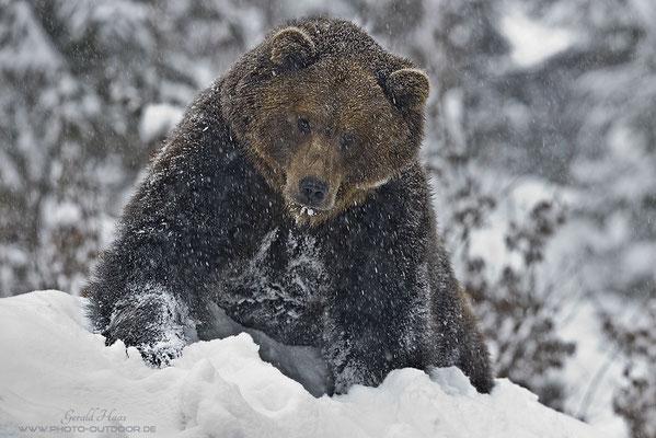 Bär im dichten Schneetreiben