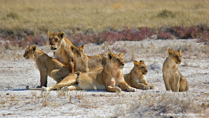Six pack  - eine Löwenfamilie in Etoscha