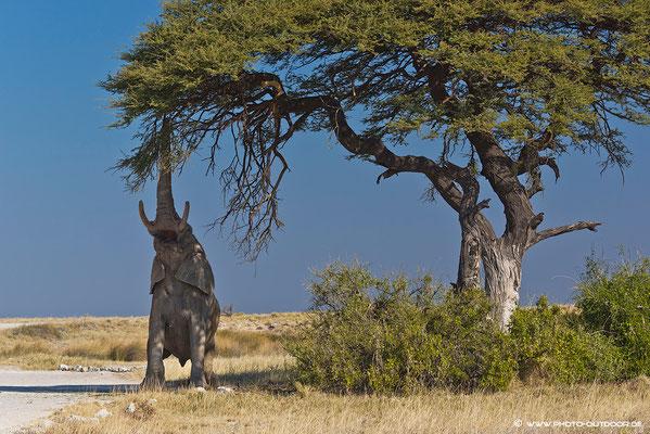"""Baum""""pflege"""" a la Elefant..."""