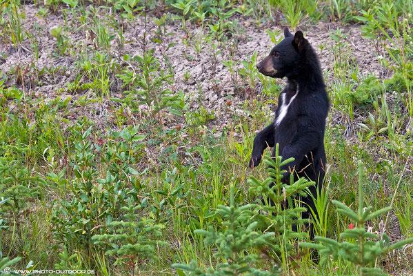 Ein junger Schwarzbär verschafft sich Überblick.