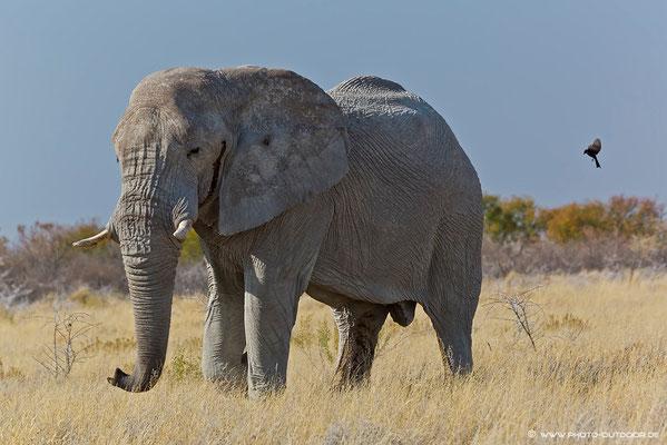 Alter Elefantenbulle im Etoscha-NP: Über eine halbe Stunde hat er den Weg blockiert... er lief sogar extra auf den Weg zurück, um uns am Passieren zu hindern... er hatte wohl schlechte Laune.