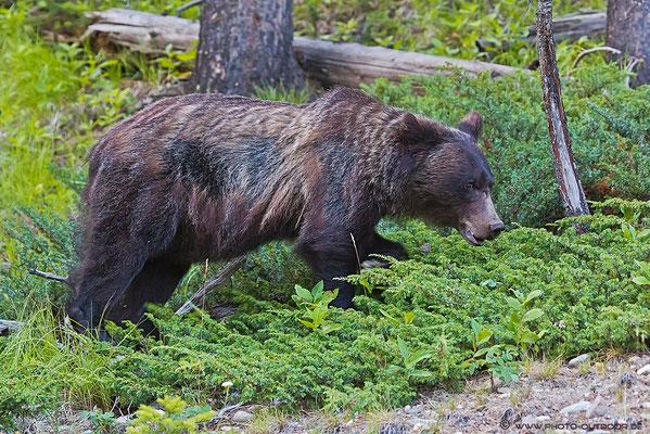 Grizzly auf Nahrungssuche.