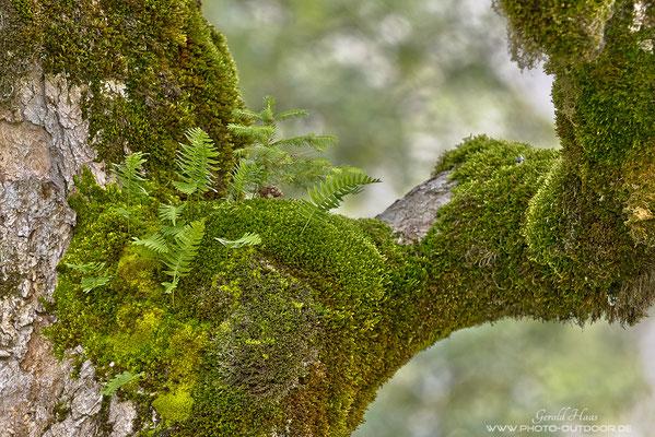 Ein Bergahorn ist Lebensgrundlage für Moos, Farn und Fichte.