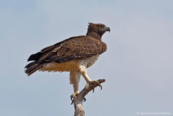 Kampfadler im Chobe-NP/Botswana