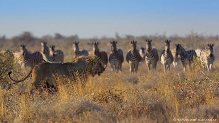 In Formation kamen diese Zebras immer näher an den Löwen heran, der über seinem Oryx-Kill stand. was die Zebras zu diesem Verhalten animierte, wissen wir bis heute nicht!
