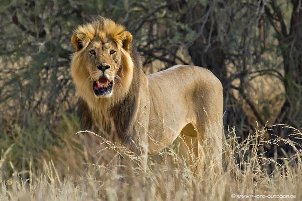 Verletzter Kalahari-Löwe