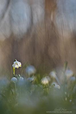 Lichtspot auf den Märzenbechern: Auch ohne Zwischenring hat das 300mm f/4 eine tolle Performance!