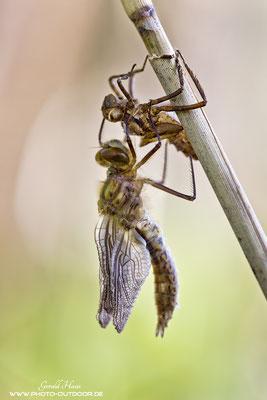 Langsam nehmen die Flügel Form an. Immer wieder werden während des Schlüpfens kurze Pausen eingelegt.