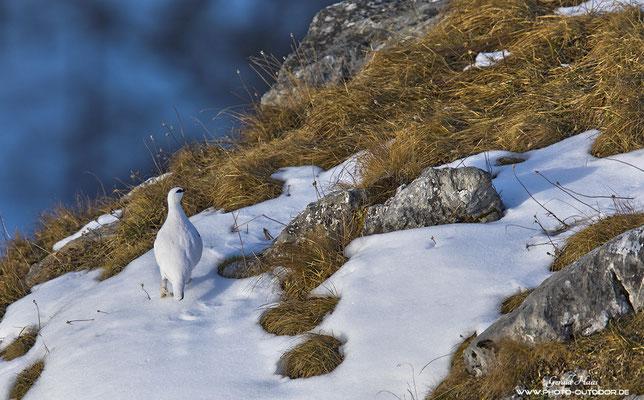 Meister der Tarnung: Ein Schneehuhn auf Nahrungssuche im Winter.