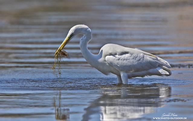 Ein Silberreiher nach erfolgreicher Jagd in einer Lagune von Alcudia.
