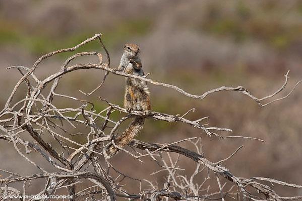 Erdhörnchen im Ausguck, Jandia-Halbinsel, Fuerteventura
