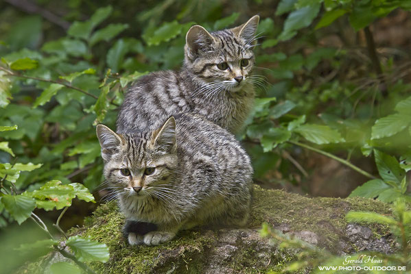 Junge Wildkatzen beim Kuscheln