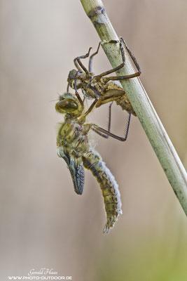 Die Libelle ist vollständig geschlüpft.