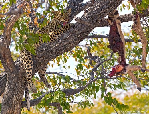 Leo mit Zebrariss, Etoscha-NP/Namibia