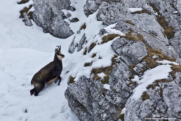 Unterwegs in einer tiefen Schneerinne: Eine Gams auf den Weg nach oben.