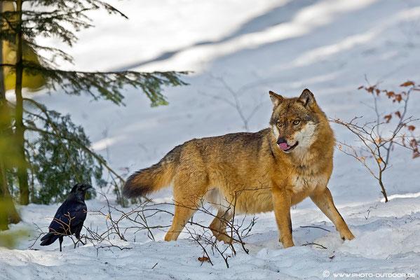 Wolf im Tiergehege