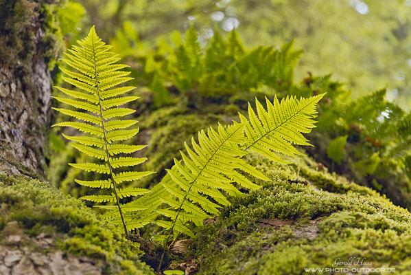 Farne bevölkern einen Bergahorn. Viele faszinierende Details kann man im Bergwald finden!