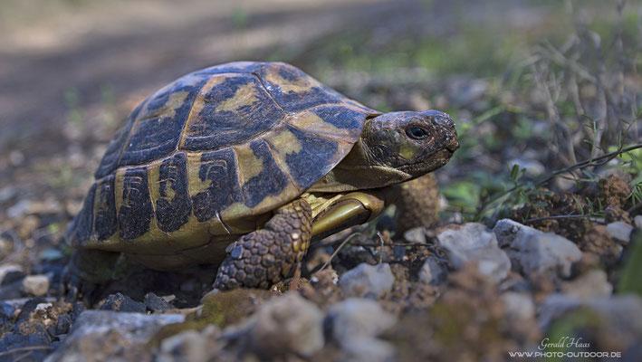 Lange danach gesucht und tatsächlich gefunden: Eine der seltenen Landschildkröten!
