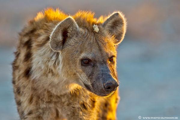 Ganz früh am Morgen haben wir Glück und entdecken eine junge Hyäne.