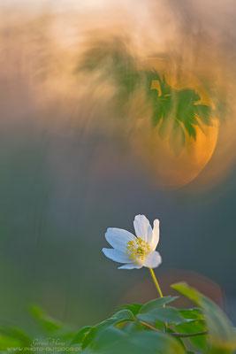 Ein Buschwindröschen (Anemone nemorosa) erstrahlt im im letzten Licht des Tages.