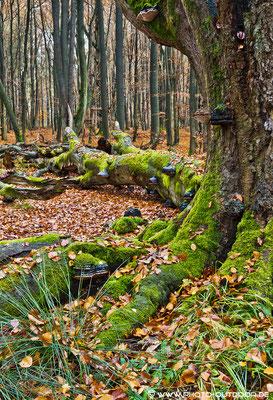 Gefallener Riese: Lebensgrundlage für Baumpilze (NSG Sababurg).
